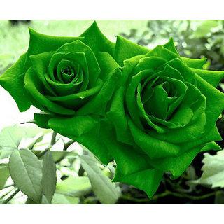 Seeds-Futaba Green Rose - 50 Pcs