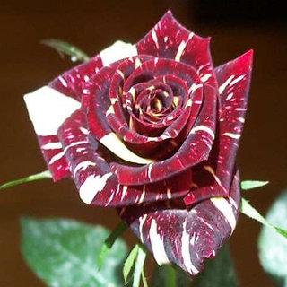Seeds-Futaba Abracadabra Bonsai Rose - 20