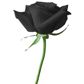 Seeds-Futaba Blood Black Rose Flower - 100 Pcs