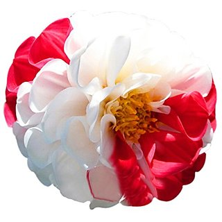 Seeds-Futaba Red And White Dahlia Beautiful Perennial Flower - 100