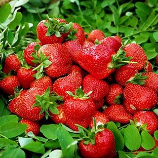 Seeds-Futaba Hanging Strawberry - 500 Pcs