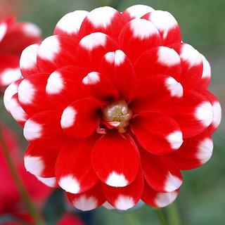 Seeds-Futaba Red White Spot Dahlia - 100 Pcs
