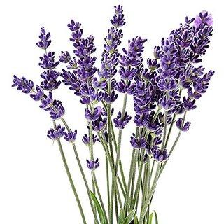 Seeds-Futaba Lavender Flower - 100