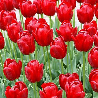 Seeds-Futaba Red Tulip - 10 Pcs