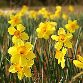 Seeds-Futaba Narcissus Flower Daffodil - Yellow - 50