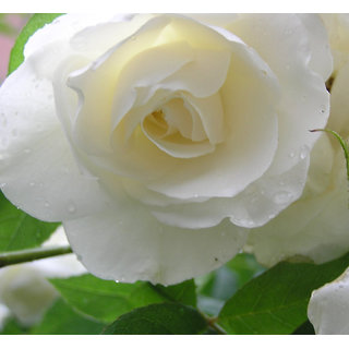 Seeds-Futaba White Rose - 50 Pcs