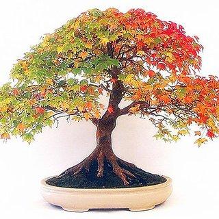 Seeds-Futaba Bonsai Colorful American Maple - 15