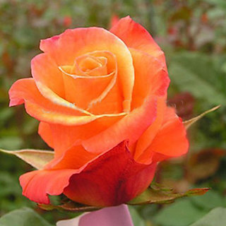 Seeds-Futaba Orange Rose - 100 Pcs