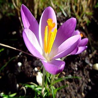 Seeds-Futaba Crocus Sativus Flower Seed - 100