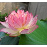 Seeds-Futaba Light Pink Bowl Lotus - 5 Pcs
