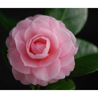 Seeds-Futaba Camellia Flowers - 50