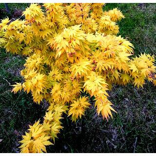 Seeds-Futaba Yellow Maple - 20 Pcs