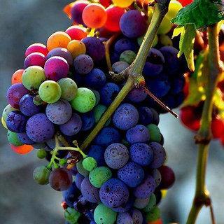 Seeds-Futaba Rainbow Grape - 50 Pcs
