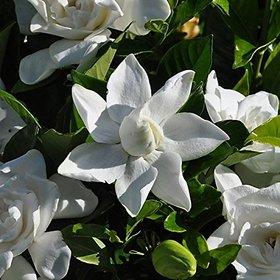 Seeds-Futaba Gardenia (Cape Jasmine) 100 Pcs