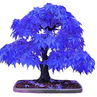 Seeds-Futaba Blue Maple - 10 Pcs
