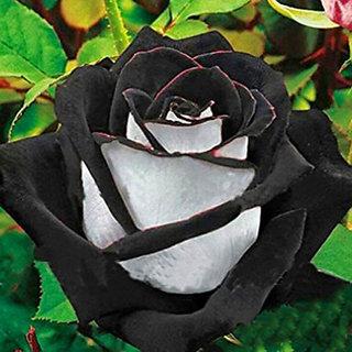 Seeds-Futaba Rare White And Black Rose - 50 Pcs
