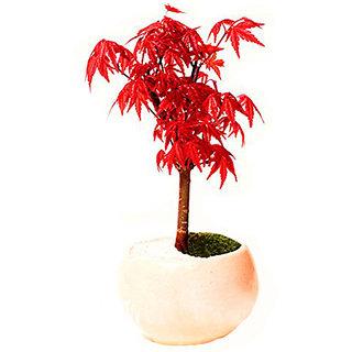 Seeds-Futaba Canada Mini Red Maple Bonsai - 20 Pcs