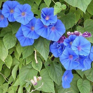 Seeds- Ipomea Heavenly Blue