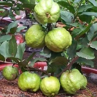 Seeds-Bonsai Thai Guava Tree , Psidium Guajava Indoor And Outdoor 20 Pack
