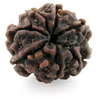 16Mm - Seven Faced Rudraksha Beads Gives Prosperity