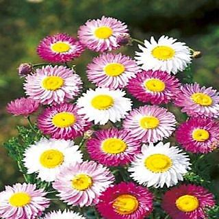 Seeds- Acroclineum Roseum Mixed