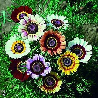 Seeds- Chrysanthemum Carinatum