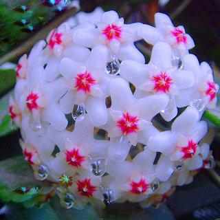 Seeds-Futaba Hoya Carnosa Flower Seed - 100