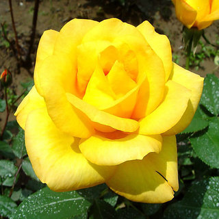 Seeds-Futaba Yellow Rose Flower - 100 Pcs