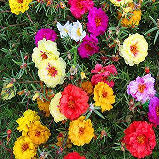 Seeds-Futaba Courtyard Essential Colorful Flower - 100 Pcs