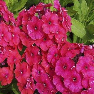 Seeds- Phlox Beauty Scarlet Red
