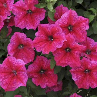 Seeds- Petunia Nc Rose Of Heaven Pink