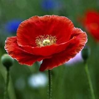 Seeds- Indian Poppy- Papaver Rhoeas