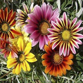 Seeds- Gazania Splendens Mix