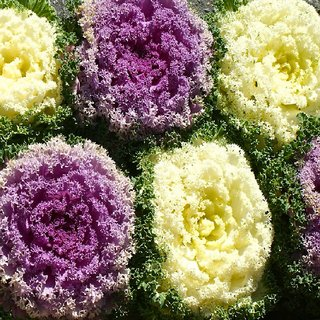 Seeds- Ornamental Kale - Brassica Oleracea