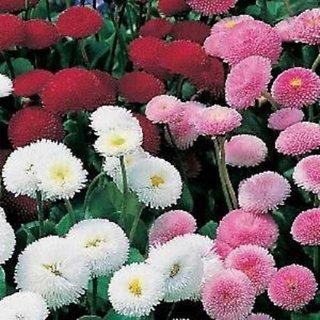 Seeds- Daisy-Bellis Pomponette Mix