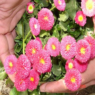 Seeds- Daisy-Bellis Monstrosa Dbl Rose