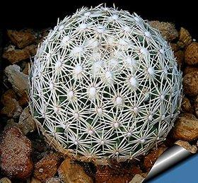 Seeds-Futaba Aurora Ball Cactus - 10 Pcs