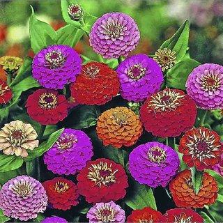 Seeds- Zinnia Elegans Lilliput Mixed