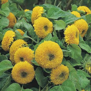 Seeds- Sunflower- Helianthus Teddy Bear