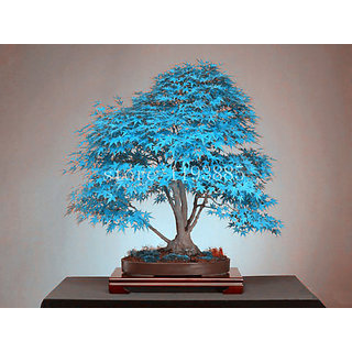 Seeds-Blue American Maple Bonsai Flowering Tree 5 Good Growing