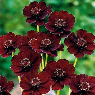 Seeds-Futaba Rare Chocolate Cosmos Flower - 20