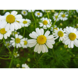 Seeds-German Chamomile Herb X 2 Pack