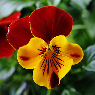 Seeds-Yellow Red Pansy X 3 Pack