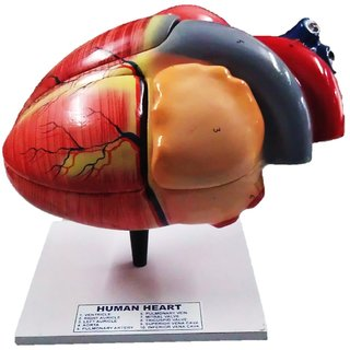 Scientific Educational Model of Herindera Human Heart Dissectable In 4 Parts Normal Size On Stand