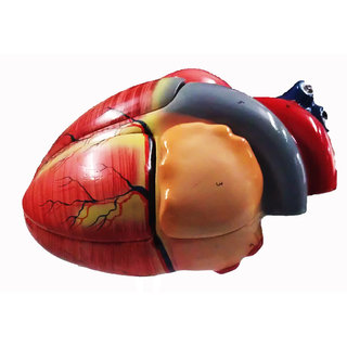 Scientific Educational Model of Herindera Human Heart Dissectable In 2 Parts Normal Size On Stand
