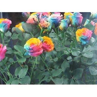 Seeds-Rainbow Rose - Pkt Of 50