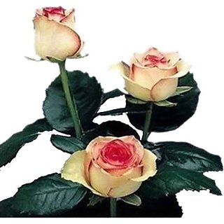 Seeds-Fire And Ice Rose Seed - Pkt Of 10