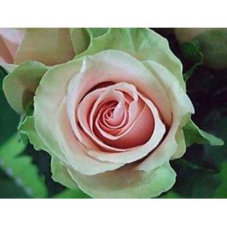 Seeds-Dancing Queen Rose Seed - Pkt Of 10