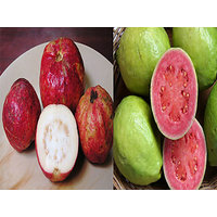 Bonsai Guava Two Variants Combo Apple Guava+Hafshi Guava -Pack Of 15+15 Seeds