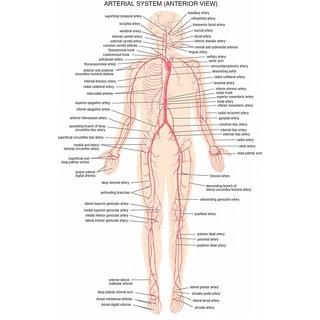 Vinteja Charts Of - Hb Arterial System - A3 Poster Print